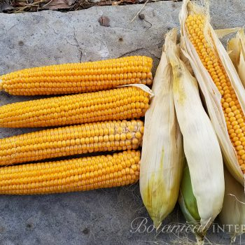 Corn Robust Popcorn by Botanical Interests - Year of the Corn - National Garden Bureau