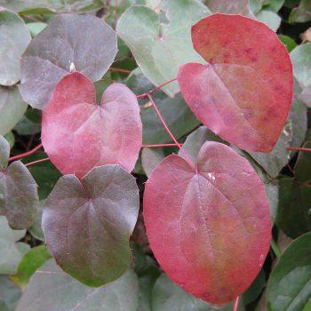 Epimedium 'Black Sea' is a perennial with beautiful fall color - National Garden Bureau