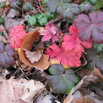 Geranium cantabrigiense 'Karmina' in fall - National Garden Bureau