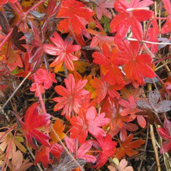Geranium sanguineum with fall color - National Garden Bureau