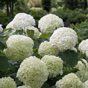 Hydrangea Incrediball by Parkseed - Year of the Hydrangea - National Garden Bureau