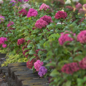 Hydrangea Bloom Struck by Endless Summer Hydrangeas - Year of the Hydrangea - National Garden Bureau