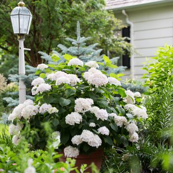 Hydrangea Blushing Bride by Endless Summer Hydrangeas - Year of the Hydrangea - National Garden Bureau