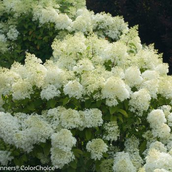 Hydrangea Bobo by Proven Winners - Year of the Hydrangea - National Garden Bureau