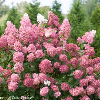 Hydrangea Fire Light by Proven Winners - Year of the Hydrangea - National Garden Bureau