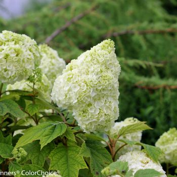 Hydrangea Gatsby Moon by Proven Winners - Year of the Hydrangea - National Garden Bureau