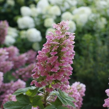 Hydrangea Gatsby Pink by Proven Winners - Year of the Hydrangea - National Garden Bureau