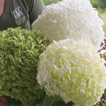 Hydrangea Incrediball by Jung Seed - Year of the Hydrangea - National Garden Bureau