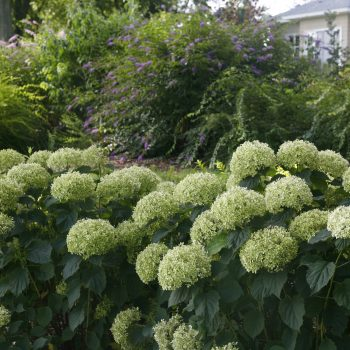 Hydrangea Invincibelle Limetta by Proven Winners - Year of the Hydrangea - National Garden Bureau