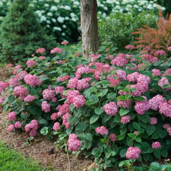 Hydrangea Invincibelle Ruby by Proven Winners - Year of the Hydrangea - National Garden Bureau