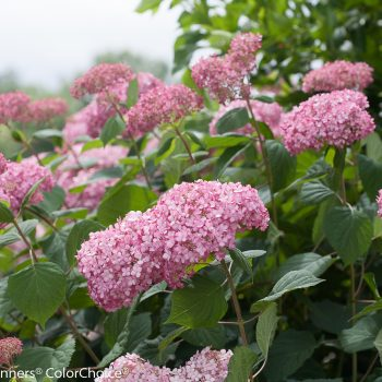 Hydrangea Invincibelle Spirit II by Proven Winners - Year of the Hydrangea - National Garden Bureau
