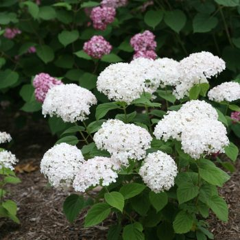 Hydrangea Invincibelle Wee White Annabelle by Proven Winners - Year of the Hydrangea - National Garden Bureau