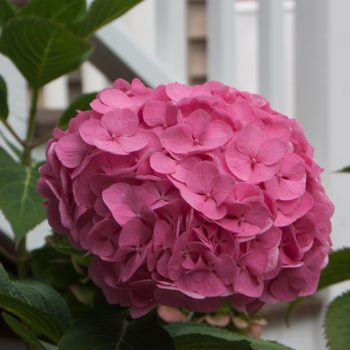 Hydangea Lets Dance Big Easy by Proven Winners - Year of the Hydrangea - National Garden Bureau