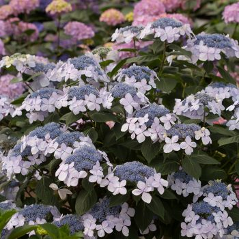 Hydrangea Lets Dance Diva by Proven Winners - Year of the Hydrangea - National Garden Bureau