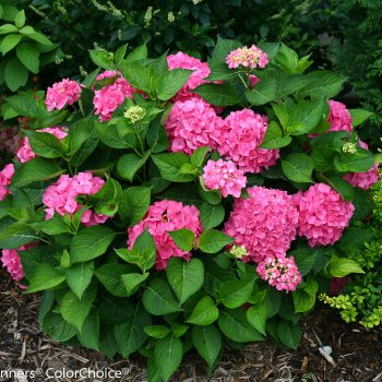 Hydrangea Lets Dance Rave by Proven Winners - Year of the Hydrangea - National Garden Bureau