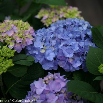 Hydrangea Lets Dance Rythmic by Proven Winners - Year of the Hydrangea - National Garden Bureau