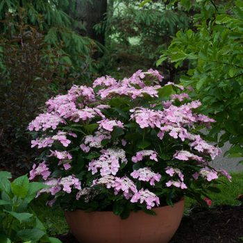 Hydrangea Lets Dance Starlight by Proven Winners - Year of the Hydrangea - National Garden Bureau