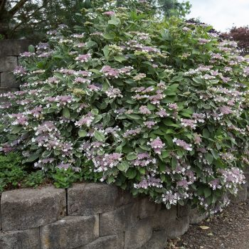 Hydrangea Light O Day by First Editions Plants - Year of the Hydrangea - National Garden Bureau