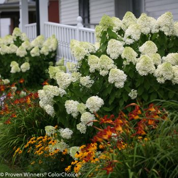 Hydrangea Limelight by Proven Winners - Year of the Hydrangea - National Garden Bureau