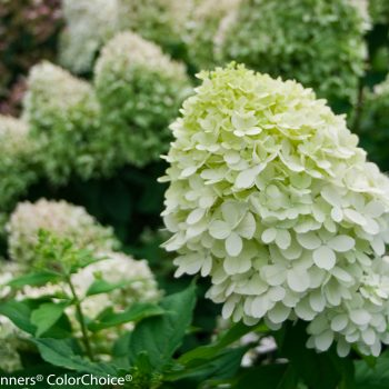Hydrangea Little Lime by Proven Winners - Year of the Hydrangea - National Garden Bureau
