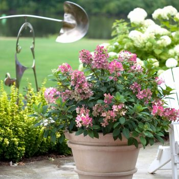 Hydrangea Little Quick Fire by Proven Winners - Year of the Hydrangea - National Garden Bureau