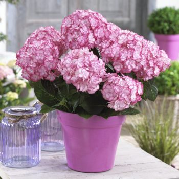 Hydrangea Miss Saori by Concept Plants - Year of the Hydrangea - National Garden Bureau