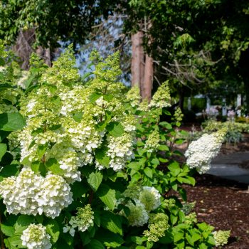 Hydrangea Moonrock by BloominEasy - Year of the Hydrangea - National Garden Bureau
