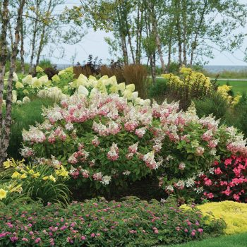 Hydrangea Pinky Winky by Proven Winners - Year of the Hydrangea - National Garden Bureau