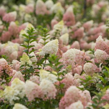 Hydrangea Strawberry Sundae by First Editions Plants - Year of the Hydrangea - National Garden Bureau