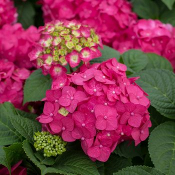Hydrangea Summer Crush by Endless Summer Hydrangeas - Year of the Hydrangea - National Garden Bureau