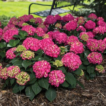 Hydrangea Summer Crush by Jung Seed Co - Year of the Hydrangea - National Garden Bureau