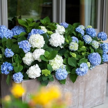 Hydrangea The Original by Endless Summer Hydrangeas - Year of the Hydrangea - National Garden Bureau