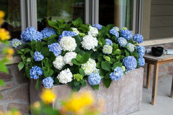 Hydrangea The Original by Endless Summer Hydrangeas - Year of the Hydrangea - National Garden Bureau