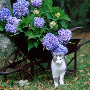 Hydrangea The Original by Endless Summer Hydrangea - Year of the Hydrangea - National Garden Bureau