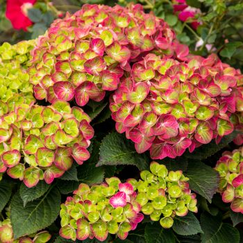 Hydrangea Tilt A Swirl by BloominEasy - Year of the Hydrangea - National Garden Bureau