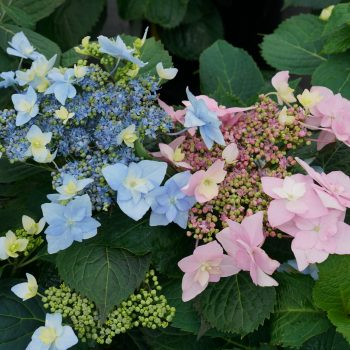 Hydrangea Tuff Stuff Ahha by Proven Winners - Year of the Hydrangea - National Garden Bureau