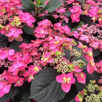 Hydrangea Tuff Stuff Red by Proven Winners - Year of the Hydrangea - National Garden Bureau