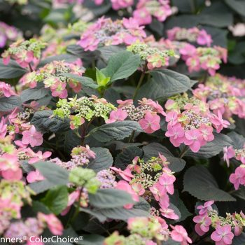 Hydrangea Tuff Stuff by Proven Winners - Year of the Hydrangea - National Garden Bureau