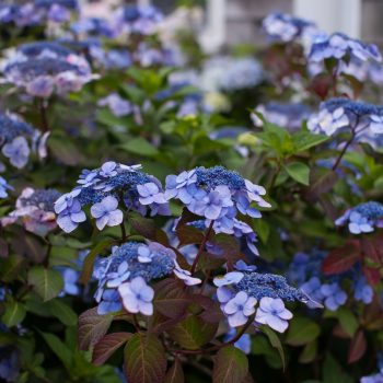 Hydrangea Twist N Shout by Endless Summer Hydrangeas - Year of the Hydrangea - National Garden Bureau