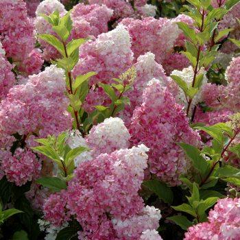 Hydrangea Vanilla Strawberry by First Editions Plants - Year of the Hydrangea - National Garden Bureau