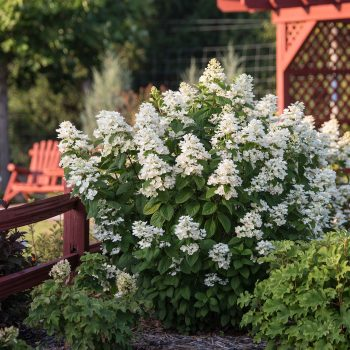 Hydrangea White Diamonds by First Editions Plants - Year of the Hydrangea - National Garden Bureau