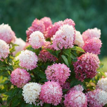 Hydrangea Zinfin Doll by Proven Winners - Year of the Hydrangea - National Garden Bureau