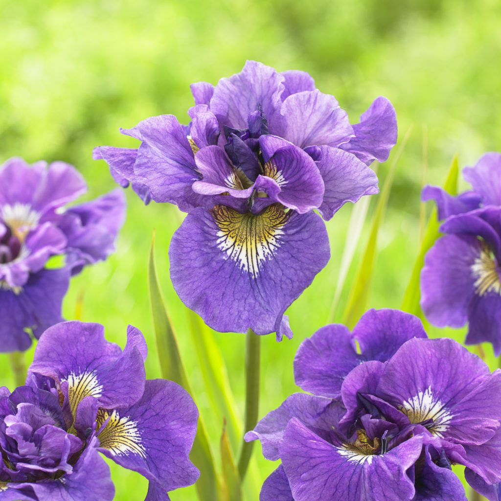 Iris Siberian Double Standard from Longfield Garden - Year of the Iris - National Garden Bureau