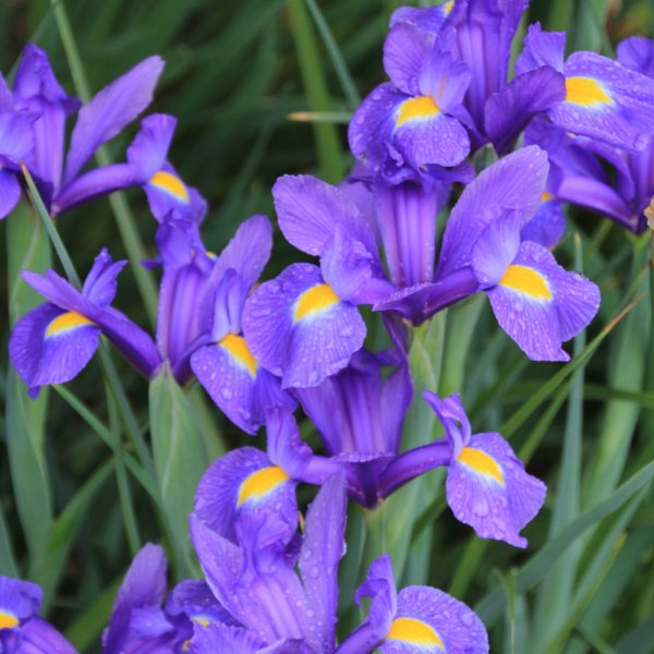 Iris Blue Magic from Brent and Becky's Bulbs - Year of the Iris - National Garden Bureau