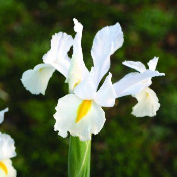 Iris Casablanca by Brent and Becky Bulbs - Year of the Iris - National Garden Bureau