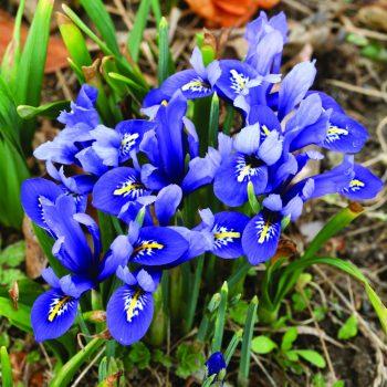 Iris Harmony by Brent and Becky Bulbs - Year of the Iris - National Garden Bureau
