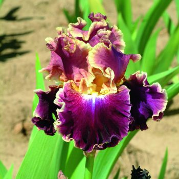 Iris Montmarte by Jung Seed Co - Year of the Iris - National Garden Bureau
