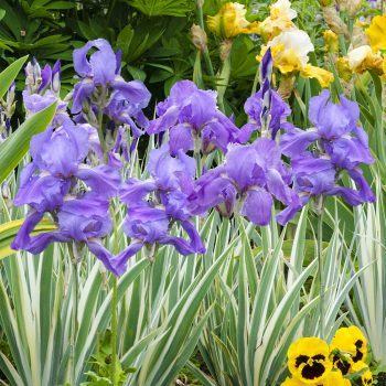 Iris Silver Pallida Variegata by Brecks - Year of the Iris - National Garden Bureau