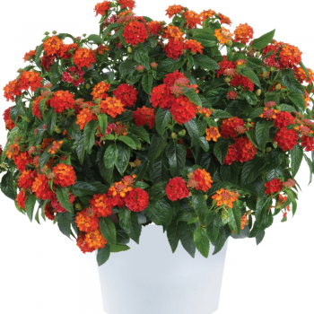Lantana Gem Compact Orange Fire by Danziger - Year of the Lantana - National Garden Bureau