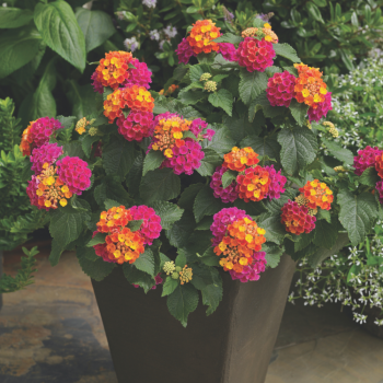 Lantana Bandana Cherry Sunrise by Syngenta Flowers - Year of the Lantana - National Garden Bureau